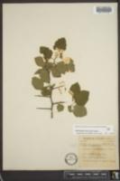 Crataegus triflora image