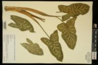 Arum italicum image
