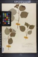 Hydrangea ashei image