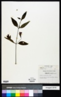 Ruellia coccinea image