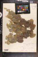 Image of Baptisia arachnifera