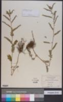Image of Phyllanthus fraternus