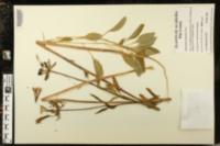 Image of Alstroemeria psittacina