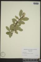 Elaeagnus pungens image