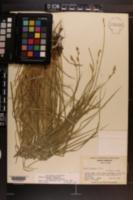 Carex bromoides subsp. montana image