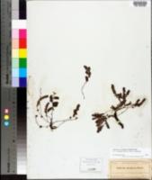 Image of Chamaesyce pergamena