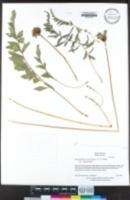 Balsamorhiza macrolepis image