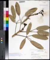 Image of Tabebuia aurea