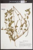 Image of Malvastrum aurantiacum