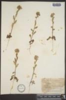 Phacelia strictiflora image