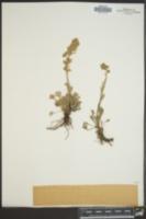 Image of Artemisia spithamea
