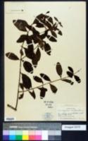 Image of Dendropemon purpureus