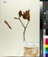 Image of Magnolia x soulangeana