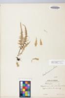 Image of Asplenium x ebenoides