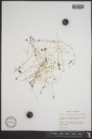 Image of Arenaria alabamensis