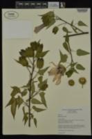 Hibiscus laevis image