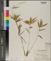 Panicum ashei image