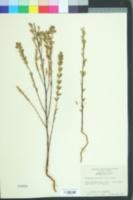 Image of Chamaesyce mesembrianthemifolia
