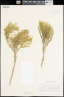 Salicornia subterminalis image