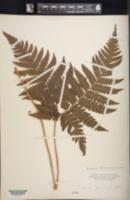 Image of Ctenitis latifrons
