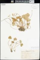 Image of Ranunculus hystriculus