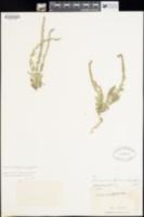 Image of Verbena canescens
