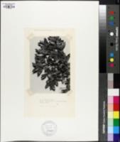 Image of Quercus chuhuichupensis