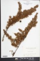 Image of Juniperus conferta