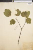 Image of Acer carolinianum
