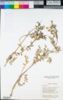 Polemonium pauciflorum image