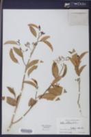 Image of Vallesia antillana