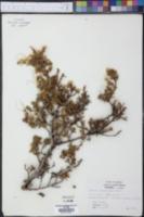Purshia stansburyana image