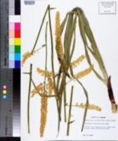 Zigadenus leimanthoides image