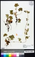 Image of Alchemilla kiwuensis