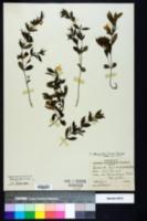 Dyschoriste oblongifolia image