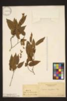 Image of Carpinus kawakamii