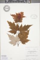 Image of Acer × freemanii