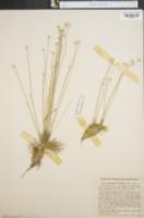 Image of Syngonanthus flavidulus