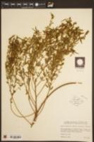 Image of Hosackia americana