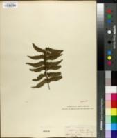 Image of Asplenium laetum