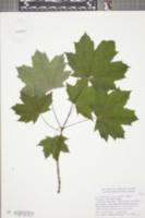 Acer platanoides var. schwedleri image