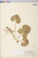 Asarum canadense var. reflexum image