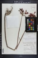 Bryophyllum delagoense image