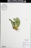 Huperzia porophila image