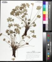 Image of Geranium concinnum
