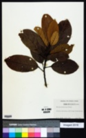 Sloanea berteriana image