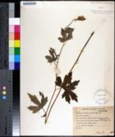 Image of Aconitum noveboracense