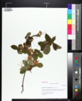 Image of Rhododendron cumberlandense