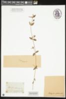 Image of Kadua centranthoides