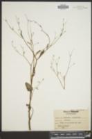 Image of Ranunculus oblongifolius
